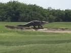 Watch giant gator saunter across golf course