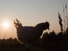 Man faces penalty over noisy rooster