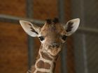 Giraffes put on extinction watch list