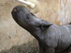 Baby black rhinoceros loves nose rubs